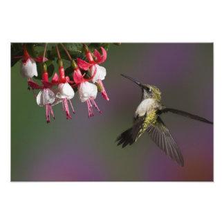 Colibri throated rouge femelle en vol. photo d'art