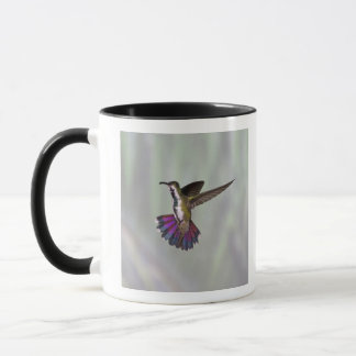 Colibri Vert-breasted Anthracocorax 3 de mangue Mugs