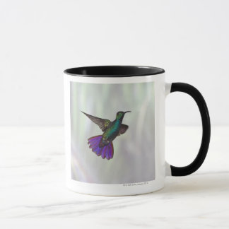Colibri Vert-breasted Anthracocorax de mangue Mugs