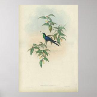 Colibri vert et bleu de Gould Poster