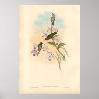 Colibris et orchidées de Gould Affiche