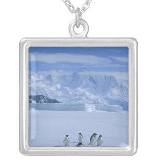 Collier Adeliae de pingouins, de Pygoscelis d'Adelie),