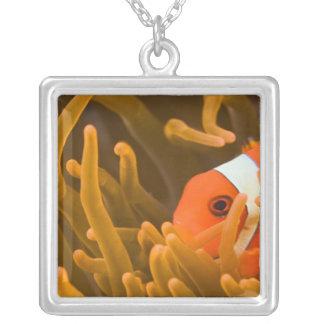 Collier Anemonfish de Spinecheek, Tulamben, Bali du nord,