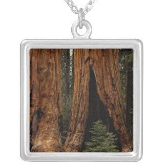 Collier Arbres de séquoia, parc national de séquoia