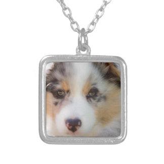 Collier Australian shepherd puppy