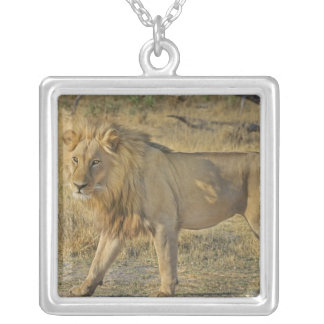 Collier Beau mâle de lion marchant sur la savane
