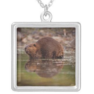 Collier beaver, canadensis de roulette, entre pour un bain