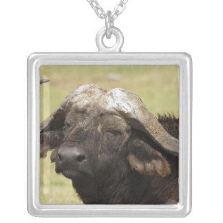 Collier Buffalo africain, caffer de Syncerus, se tenant