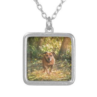 Collier Bull-terrier du Staffordshire