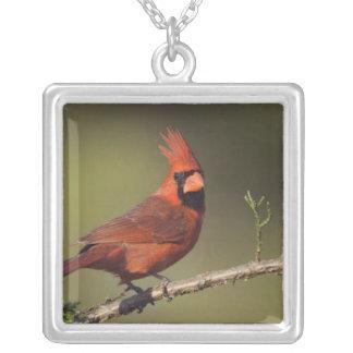 Collier Cardinal du nord, cardinalis de Cardinalis, mâle 3