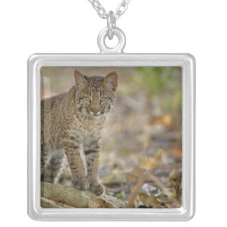 Collier Chat sauvage, rufus de Felis, marécages de