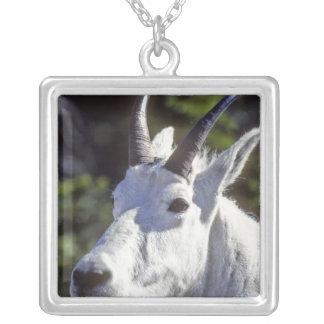 Collier Chèvre de montagne, Oreamnos américanus, en