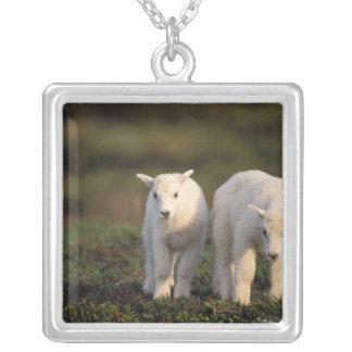 Collier chèvre de montagne, Oreamnos américanus, paire de