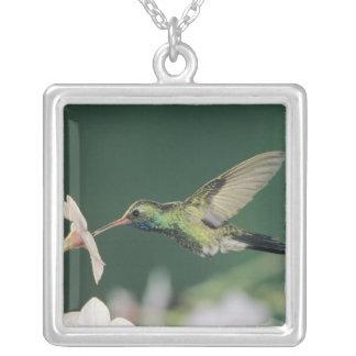 Collier colibri Large-affiché, latirostris de Cynanthus,