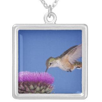 Collier colibri Large-coupé la queue, Selasphorus 3