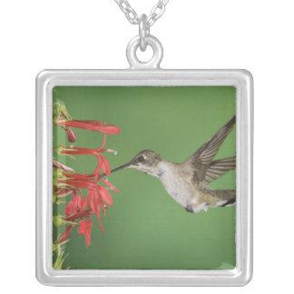 Collier Colibri Noir-chinned, Archilochus 2