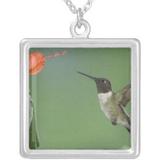 Collier colibri Rubis-throated, Archilochus