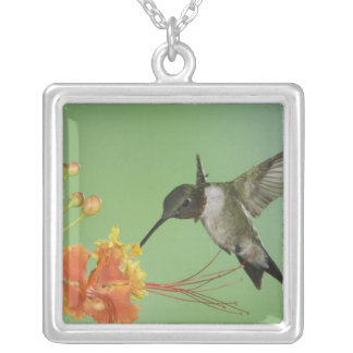 Collier colibri Rubis-throated, Archilochus 2