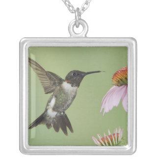 Collier colibri Rubis-throated, Archilochus 3