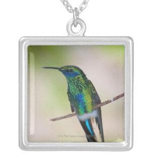 Collier Colibri vert de Violet-oreille