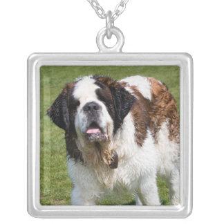 Collier de chien de St Bernard, cadeau