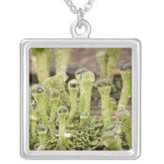 Collier Détail des gouttes de pluie sur le lichen. Crédit