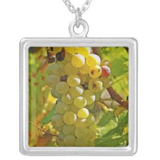 Collier Du Chasselas dans le vignoble - planté longtemps