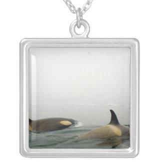 Collier épaulards (orques), orque d'Orcinus, cosse 2