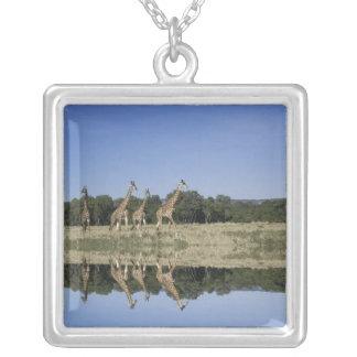 Collier Girafes de masai, camelopardalis de Giraffa,
