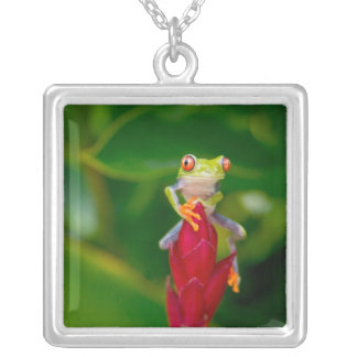 Collier grenouille d'arbre de Rouge-oeil, Costa Rica