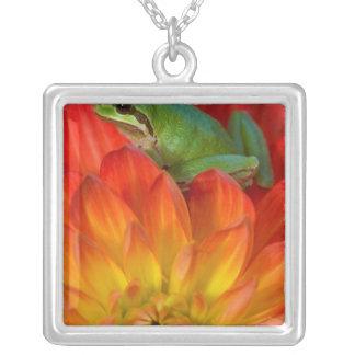 Collier Grenouille d'arbre Pacifique sur des fleurs dans