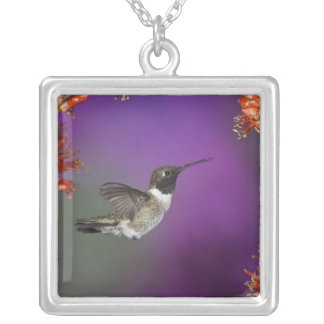 Collier Humingbird Noir-chinned, alexandri d'Archilochus,