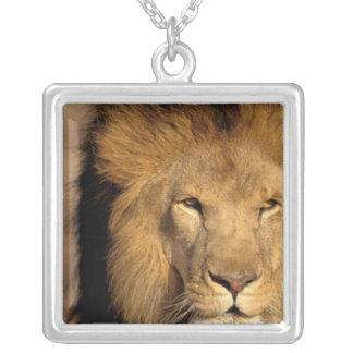 Collier L'Afrique, Kenya, masai Mara. Mâle de lion
