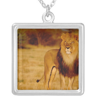 Collier L'Afrique, Namibie, Okonjima. Lion masculin