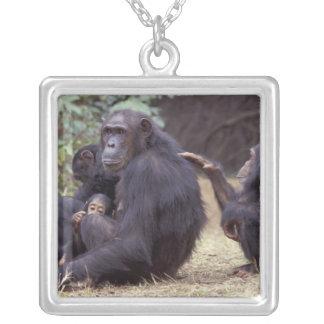 Collier L'Afrique, Tanzanie, femelle infantile de Gombe NP
