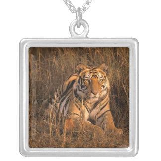 Collier L'Asie, Inde, parc national de Bandhavgarh. Tigre