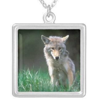 Collier Le Canada, Colombie-Britannique, coyote (latrans