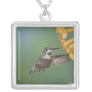Collier Le colibri de la côte, costae de Calypte, jeunes