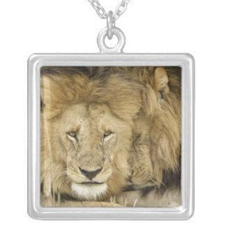 Collier Le Kenya, masai Mara. Deux lions reposant le