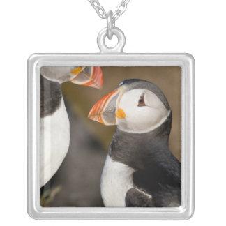 Collier Le macareux atlantique, un oiseau marin pélagique,