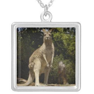 Collier Le plus souvent vu en Australie, gris oriental