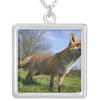 Collier Le R-U, Angleterre. Vulpes de Vulpes de Fox rouge)