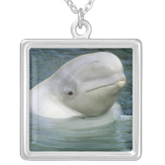 Collier Leucas de baleine, de Delphinapterus de beluga),