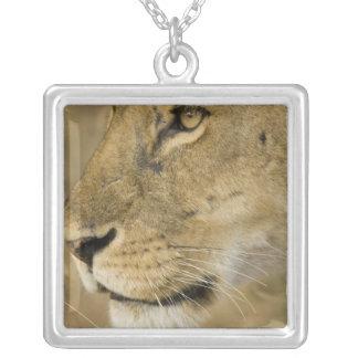 Collier Lion africain, Panthera Lion, fin vers le haut de
