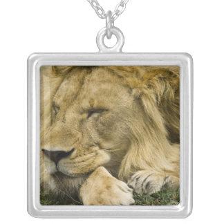 Collier Lion africain, Panthera Lion, fixation endormie