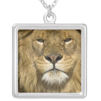 Collier Lion de Barbarie d'Africain, Panthera Lion Lion,