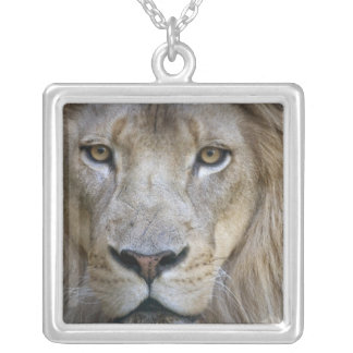 Collier Lion de mâle adulte au zoo de Sacramento, CA