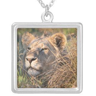 Collier Lion masculin égrappant dans l'herbe, tête jetant