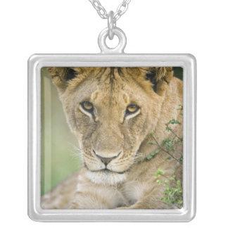 Collier Lion, Panthera Lion, masai Mara, Kenya