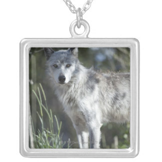 Collier Loup dans Yellowstone
